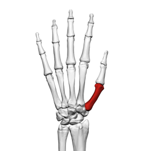 First_metacarpal_bone_(left_hand)_02_dorsal_view