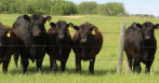 black angus couws
